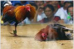 sabung ayam resmi